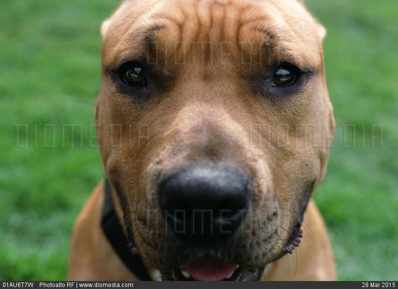 Dog with wrinkled brow, face. - stock photo