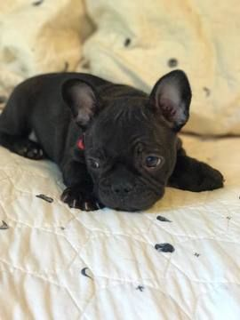 Litter Of 2 French Bulldog Puppies For Sale In Tazewell Va Adn