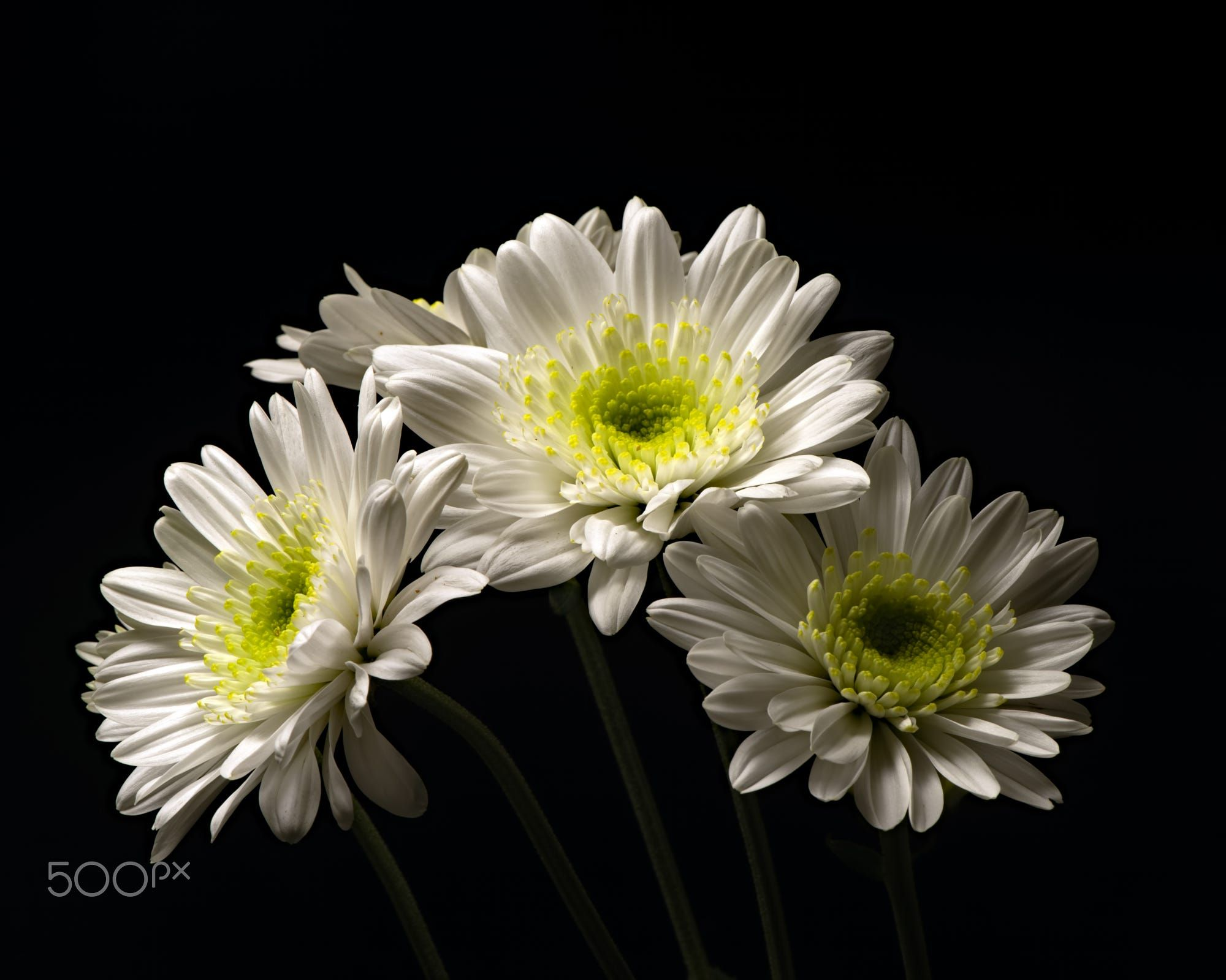 White Mum Trio 0427 By Thomas Jerger On 500px