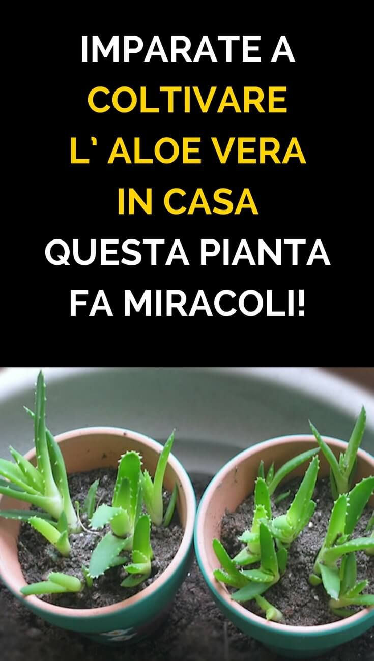 Coltivare In Casa Piante Aromatiche imparate a coltivare l' aloe vera in casa! questa pianta fa