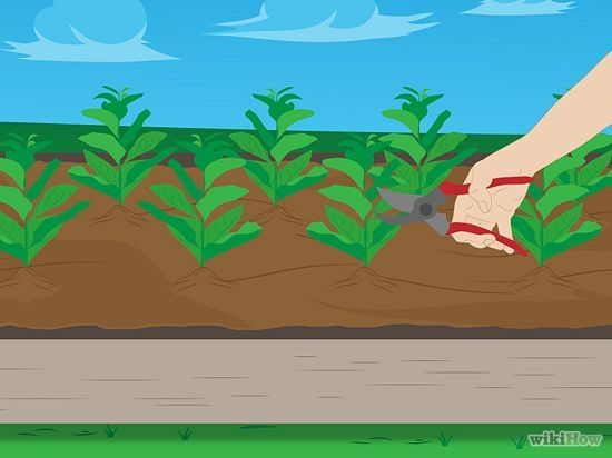 Excellent wikiHow Pg with illustrations on growing #Spinach in your #Kitchen_Garden