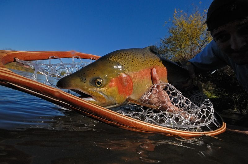 Gorgeous rainbow trout, caught, photographed and released
