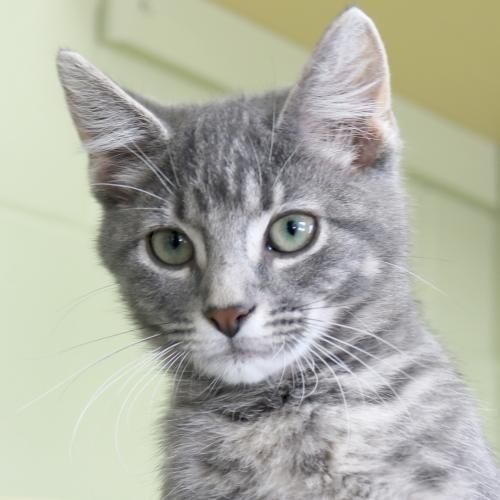 Hi I M Smudge I M A 3 Month Old Gray Blue Or Silver Tabby Domestic Short Hair Grey Tabby Cats Grey Tabby Kittens Tabby Cat
