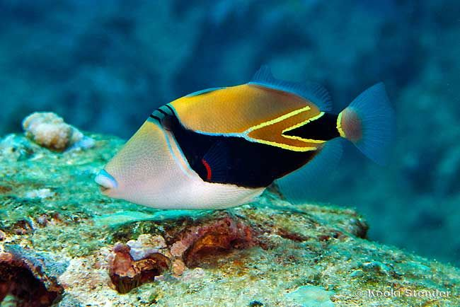 Awesome beginner fish for a saltwater aquarium fish for Hawaiian fish names and pictures