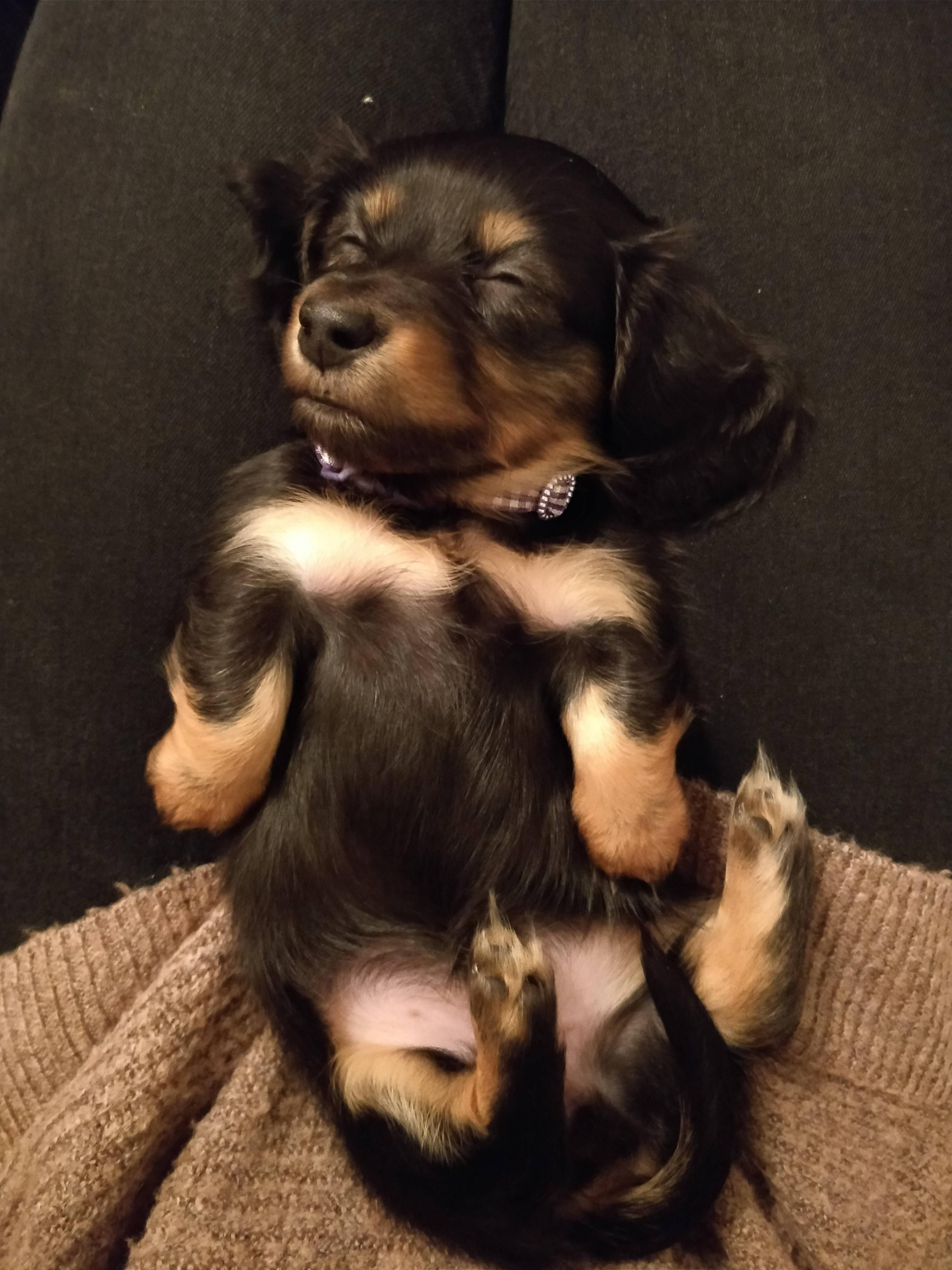 Meet gladys our longhaired miniature dachshund pup ift