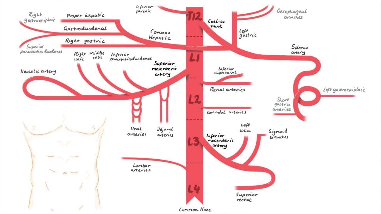 Abdominal Aorta Branches | Teaching Anatomy | Pinterest | Enfermería