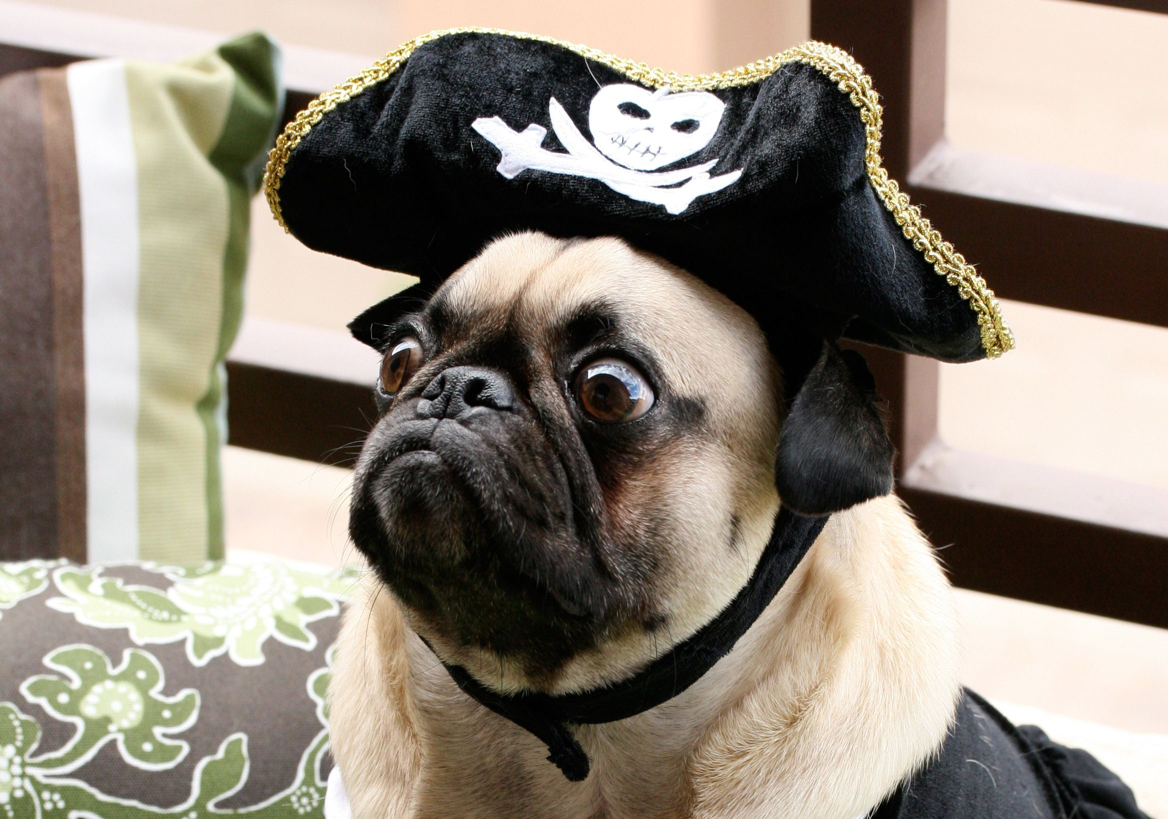 Pin von Dahlia Jane auf Pugs Being Pirates | Pinterest
