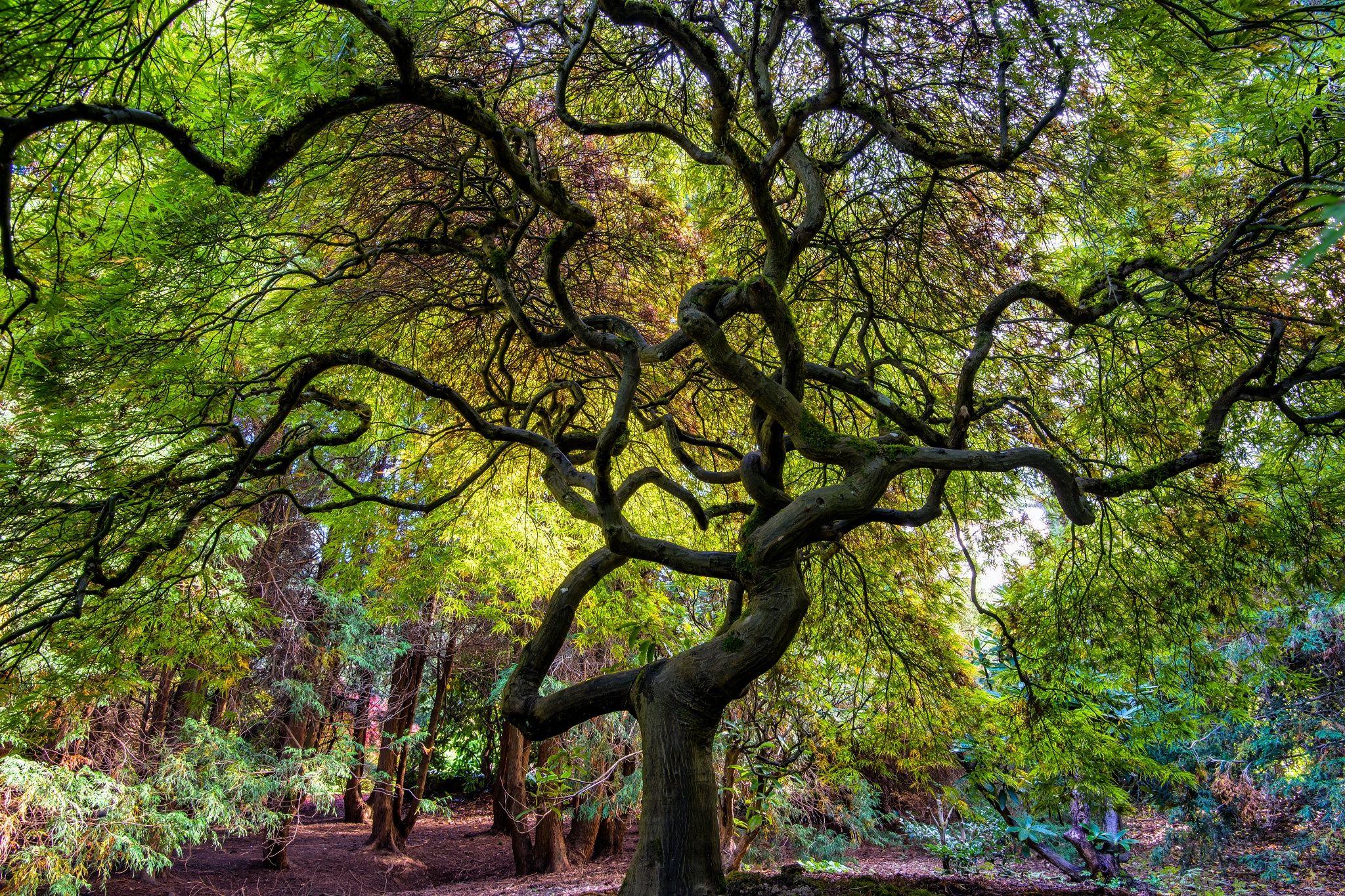 Japanese Maple from Kubota Garden, Seattle by Jeremiah
