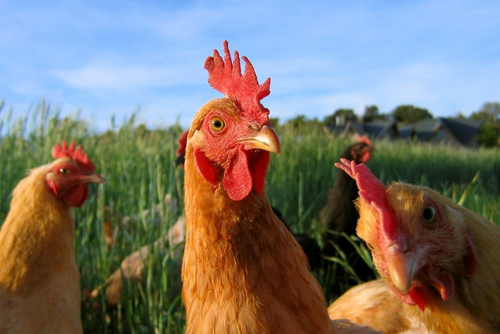 Quotes About Raising Chickens: Pin By Jo Bettney On Chooks