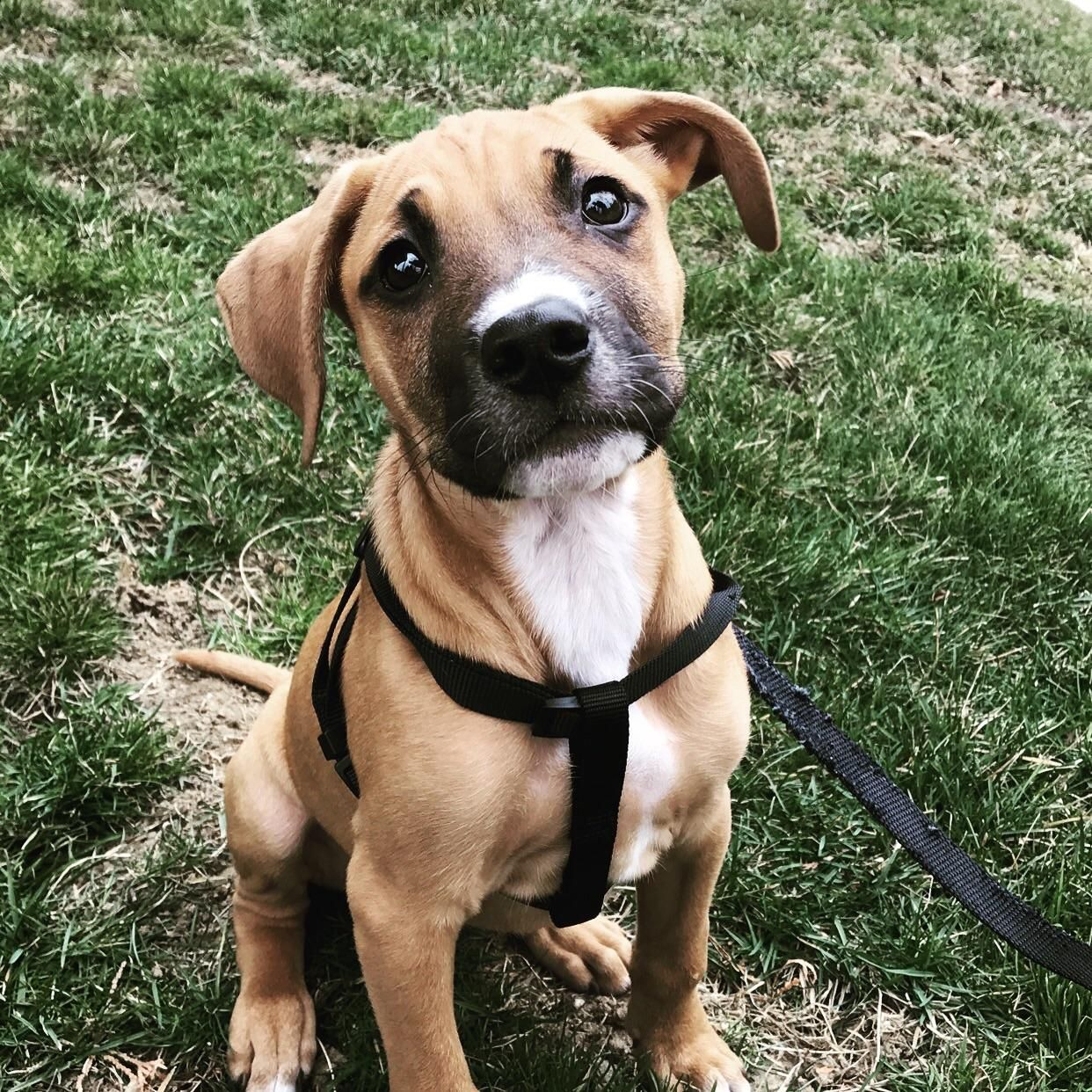 Do You Think He S A Boxer Mix This Is My 3 1 2 Month Old Puppy Everyday I Ve Been Asked What Kind Of Dog He His And The What Kind Of Dog