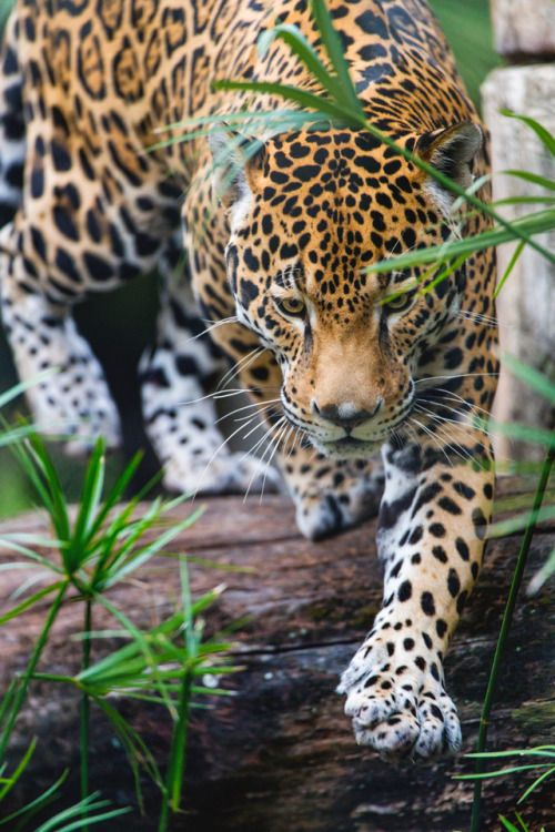 """moodygrams: """"souhailbog: """" Walking over the branch By Tambako The ..."""