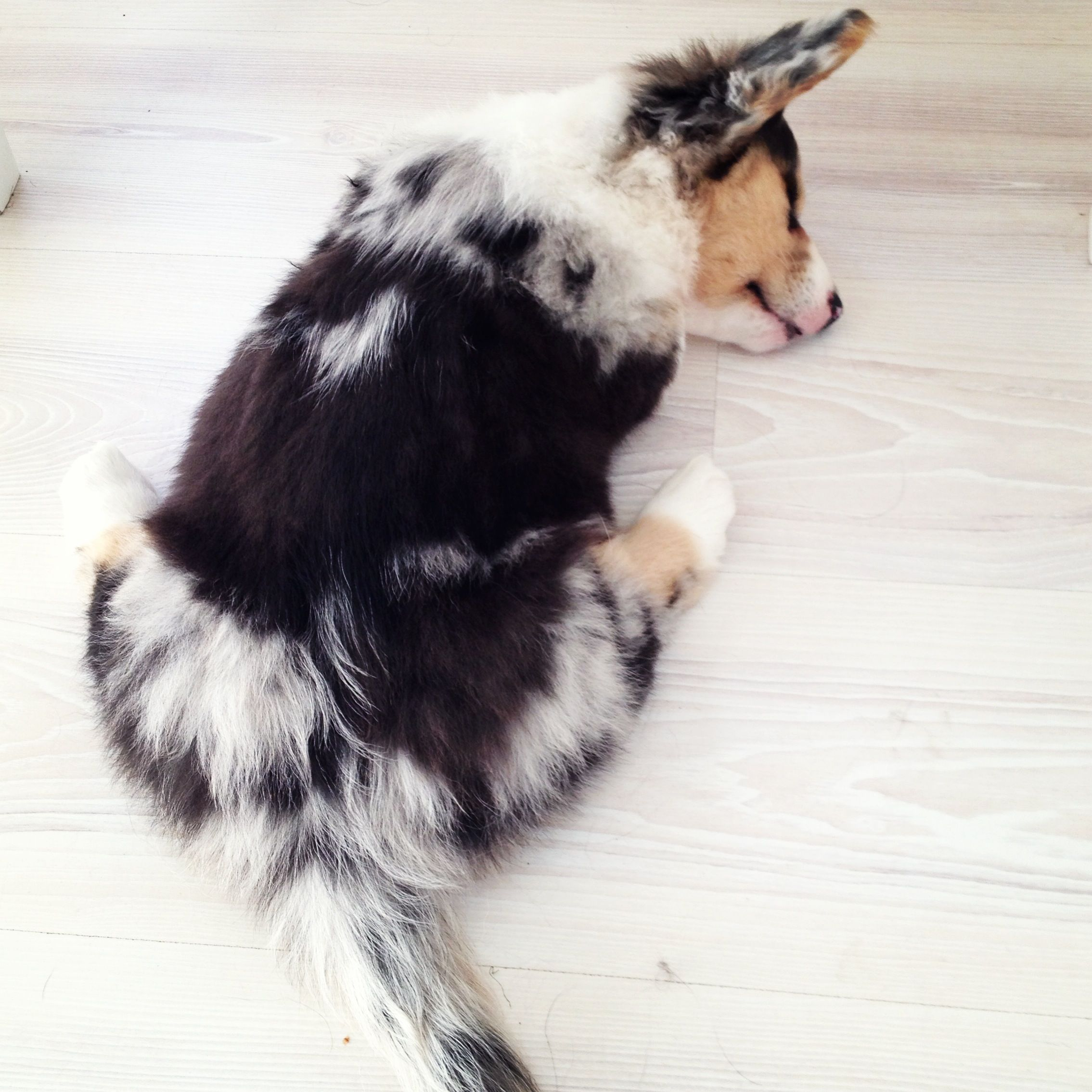 My fluffy blue merle welsh cardigan with images