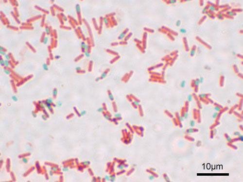 Bacillus subtilis spore formation asexual reproduction
