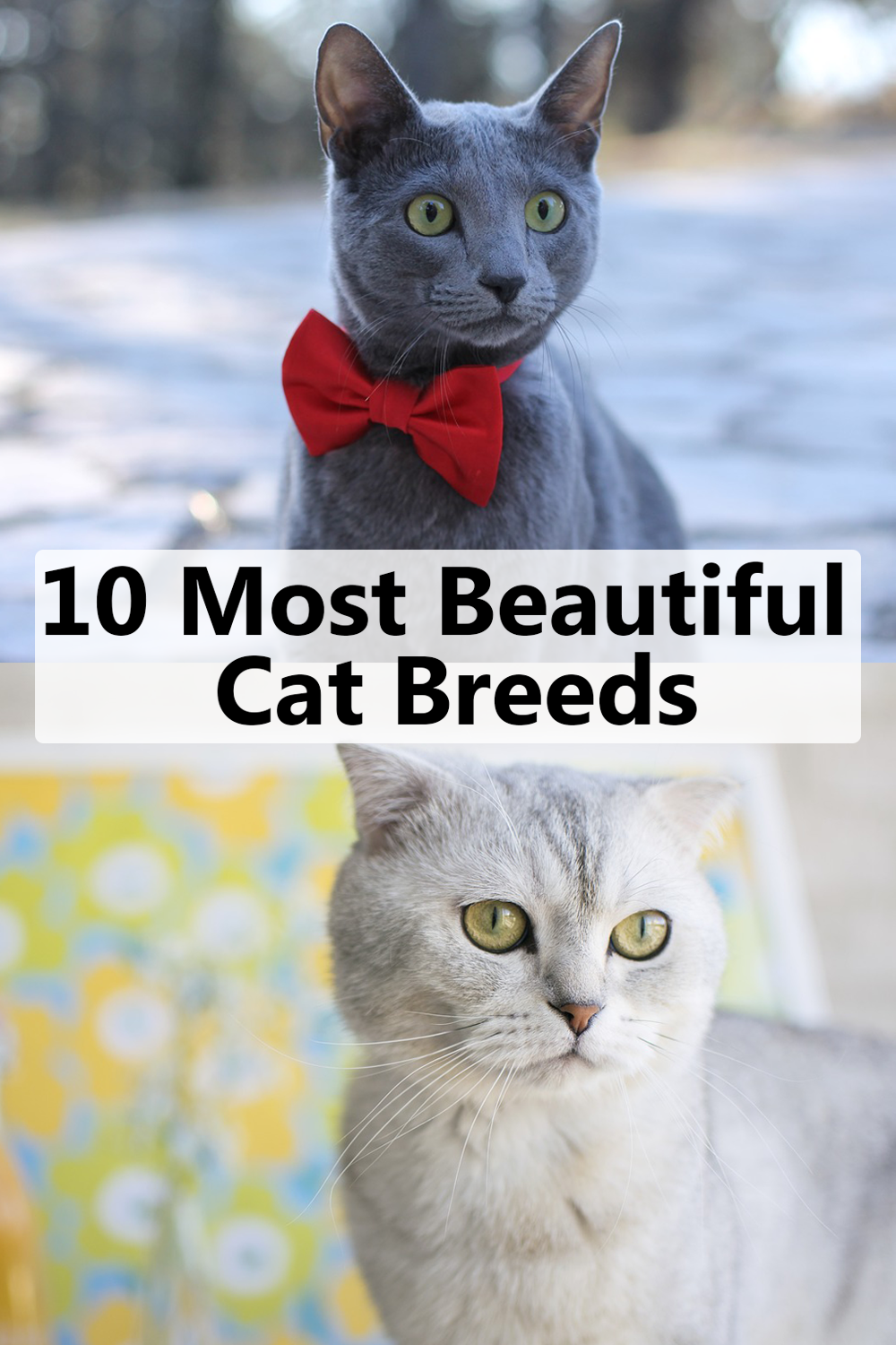 10 Most Beautiful Cat Breeds In The World (With images
