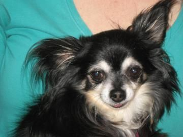 Pin By Chihuahua Small Dog Rescue Inc On Available Furry