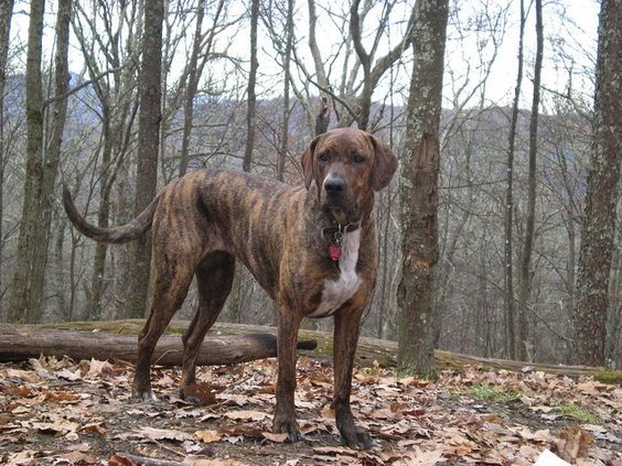 Beautiful, beautiful, brindle Plott Hound. Love this dog! Great hunting dog, watch dog, and all-round family dog. Low-maintenance coat, too. I probably need another one. Or two :) #plotthound