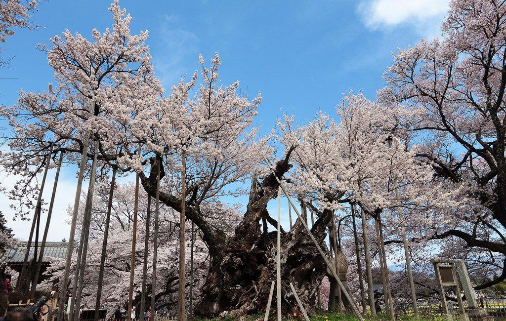 The Oldest Sakura Tree Sakura Tree Ancient Tree Old Things