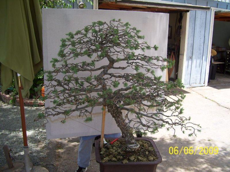 Image Result For Italian Stone Pine Bonsai Pine Bonsai Bonsai Ladder Decor