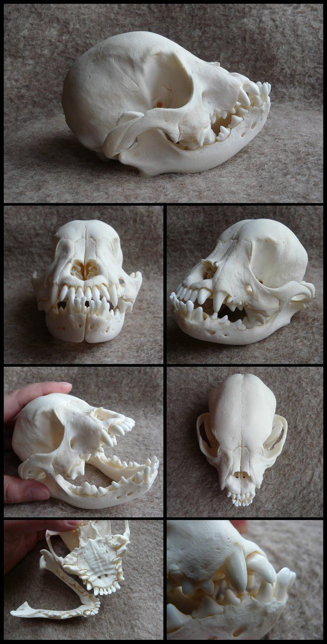 Juvenile French Bulldog Skull by CabinetCuriosities on DeviantArt