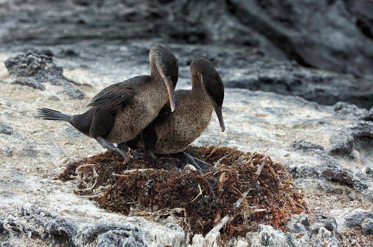 FLIGHTLESS COMORANT   Galapagos Flightless Cormorant Facts