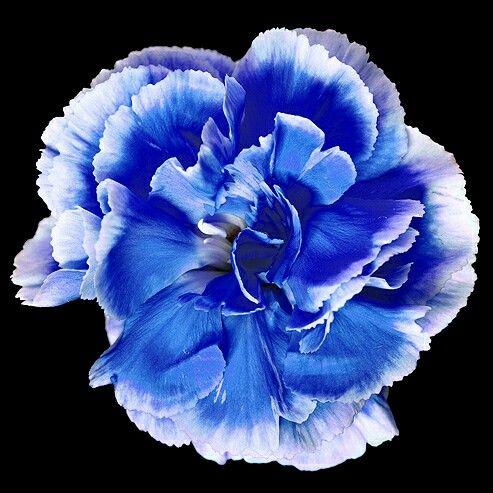 Pin By Alyssa Gunstream On Possible Tattoo Blue Carnations Carnation Flower Bonsai Flower