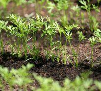 Planter des carottes : les 5 astuces pour une récolte de carottes extra (avec images) | Planter ...