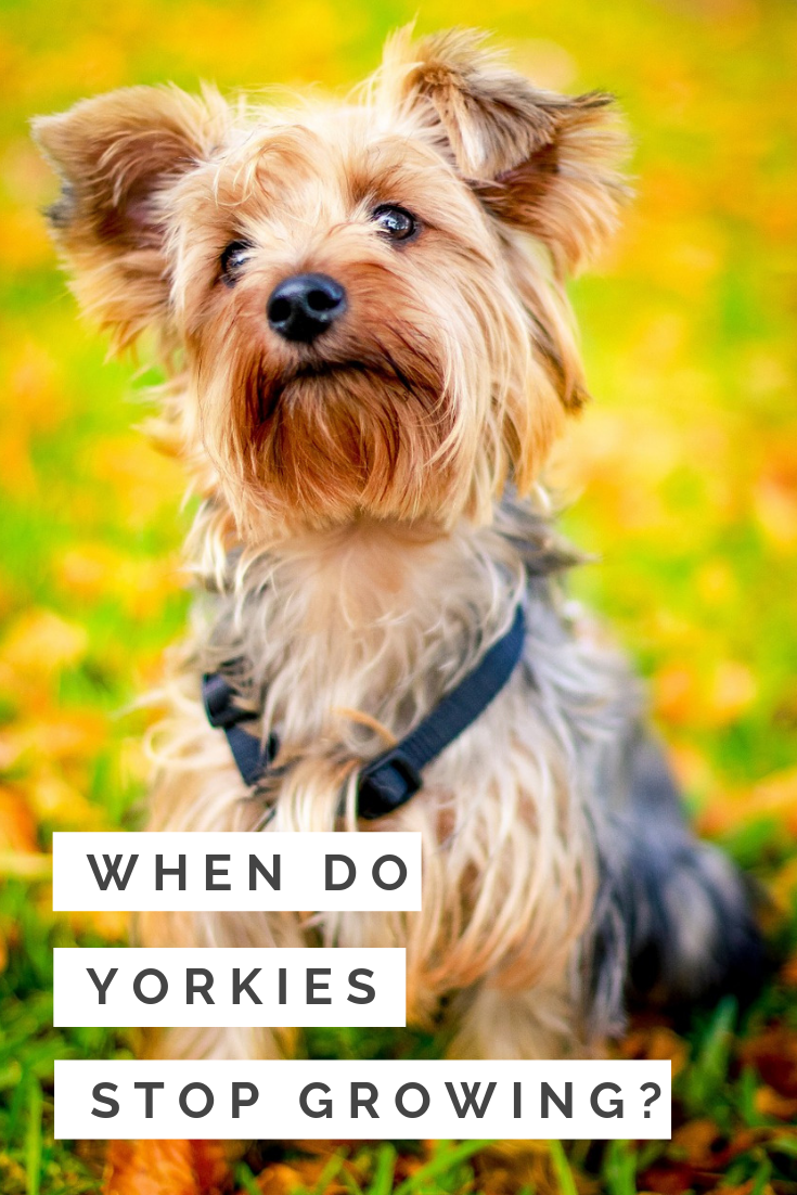 When Do Yorkies Stop Growing The Stages Of A Yorkie S Life