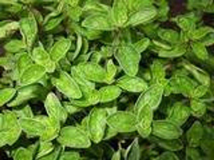Plantas De Especias