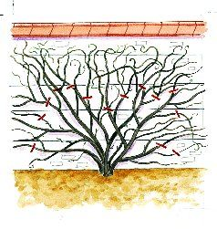 la taille de la glycine arbustes jardins glycine arbuste. Black Bedroom Furniture Sets. Home Design Ideas