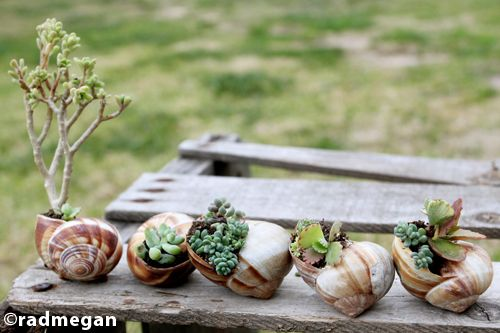 in words and pictures: Miniature Gardens: Shell-Potted Succulents