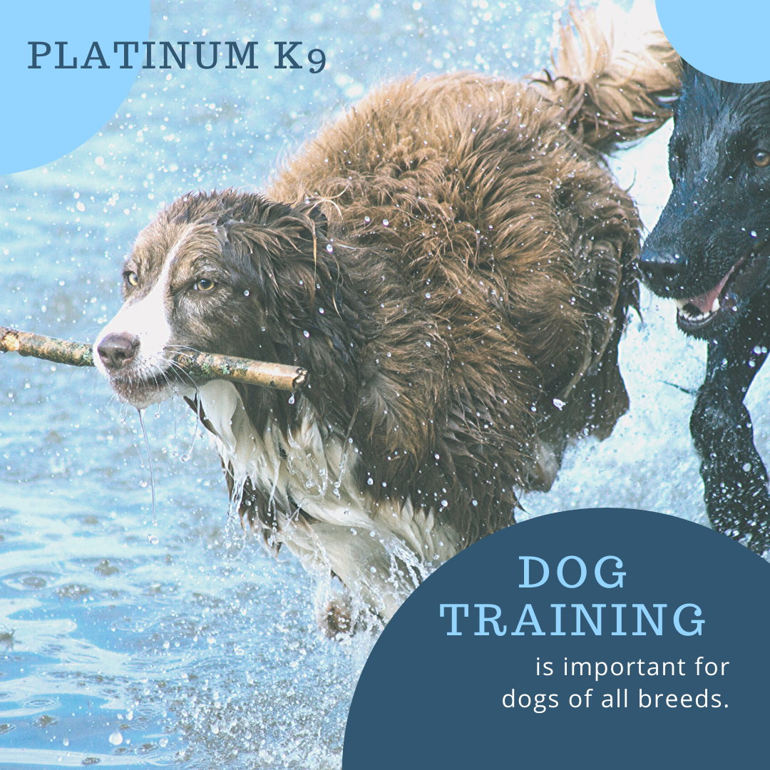 Puppy Training Classes Near Me Dog Trainer Uk Platinum K9 In 2020 Dogs Pet Vet Animal Hospital