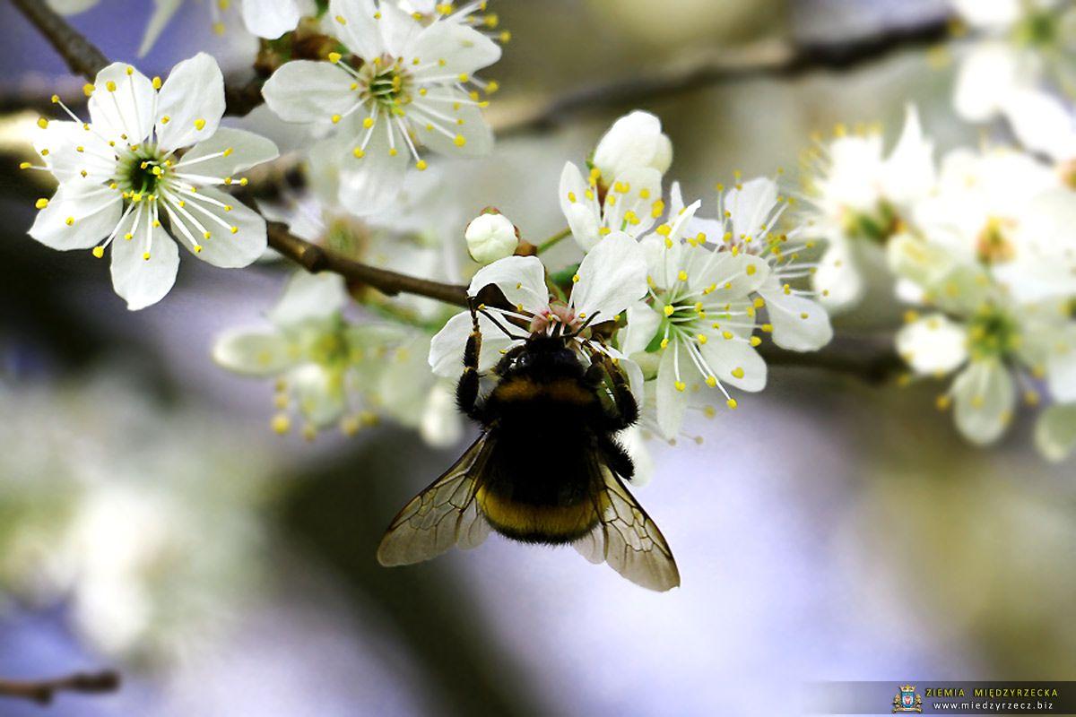 Miedzyrzecz Kwiat Glogu Miedzyrzecz Bee Animals