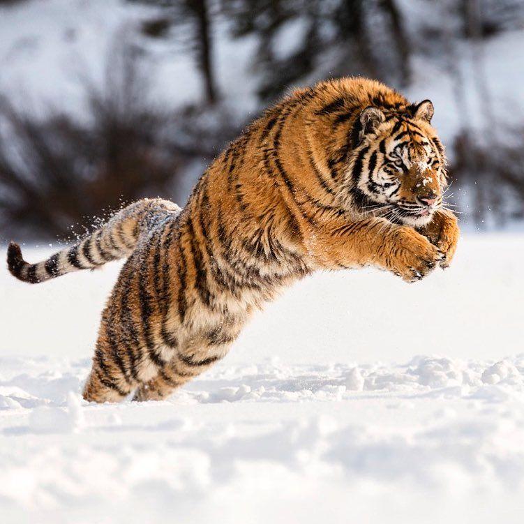 #mammut @sportiveturkiye #mammutabsolutealpine #sonyalpha #sonya7rii #sonyalphatr #natgeo #bazenkacmaklazim #amurtiger #tiger