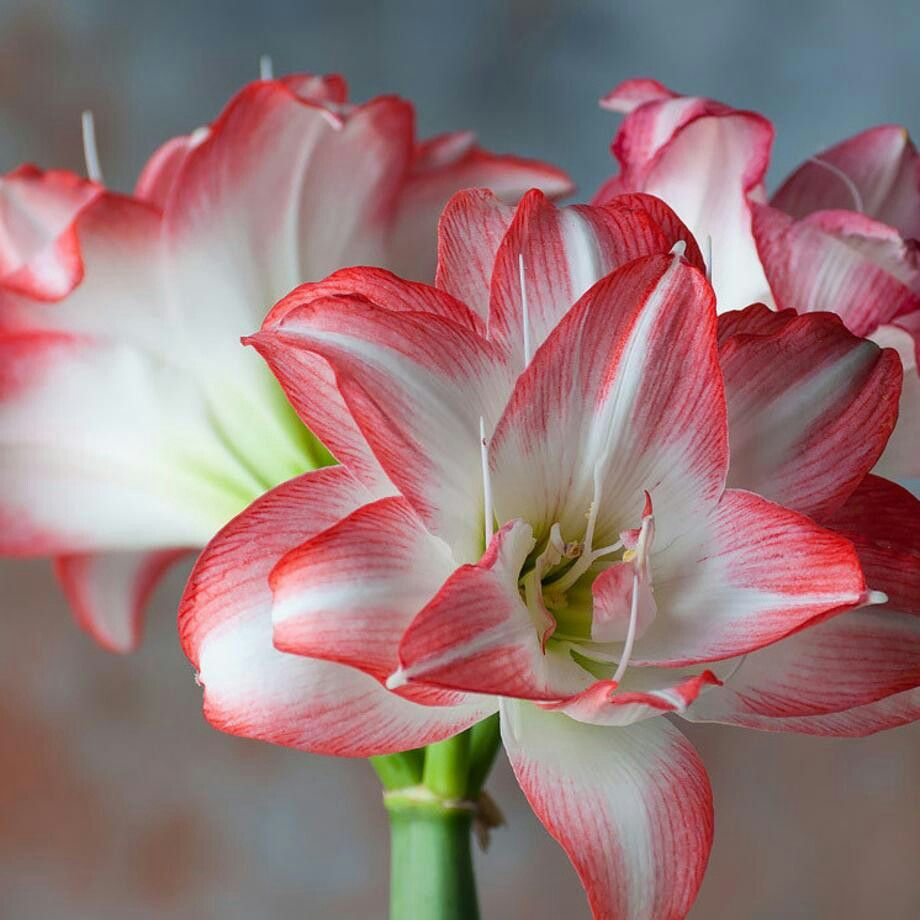 Amaryllis Meaning Is Beauty Beyond Worth Amaryllis Bulbs Amaryllis Amaryllis Flowers