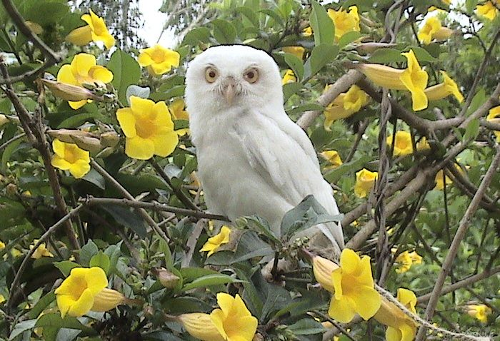 Raptors • Leucistic Spotted Owlet among flowers in India