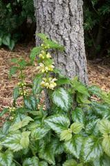 Lamium Galeobdolon Plant Finder Shrubs For Dry Shade Dry Shade Plants Shade Garden Plants