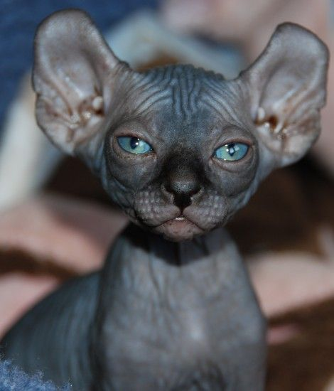 6 Strange Breeds Of Hairless Cats The Featured Creature Elf Cat Cute Cats Hairless Cat