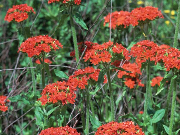 Named For Its Flat Heads Of Small Cross Shaped Flowers The