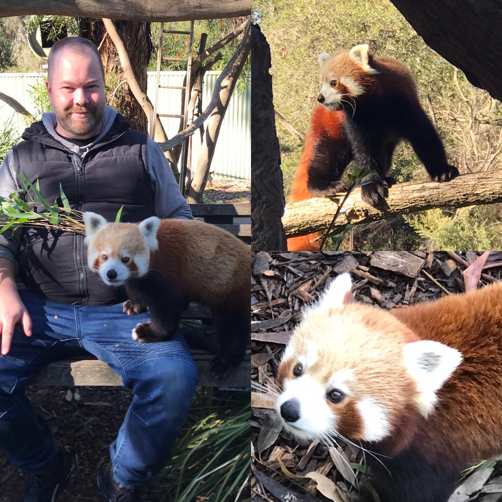 Please Follow Iloveredpandas Got To Do An Encounter With Shardul The Red Panda At Halls Gap Zoo Today For My Birthday Redpan Red Panda Panda Bear Cute Bears