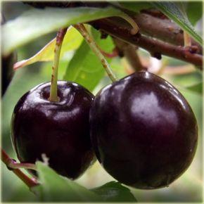 Cerisier Www Arbres Fruitiers Ca Pour Des Arbres Fruitiers Qui Poussent Au Quebec Growing Fruit Cherry Plant Fruit Trees In Containers