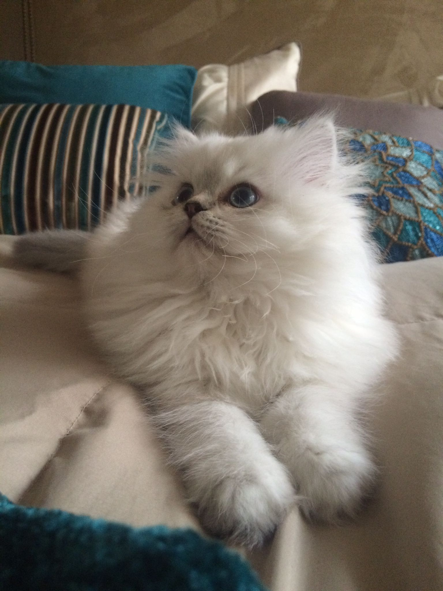 CFA White with blue points Persian