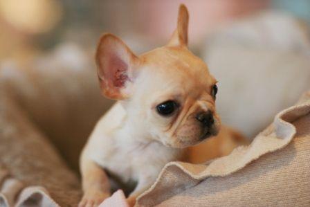 Teacup French Bulldog Puppies Sooo Tiny Sooo Adoorable