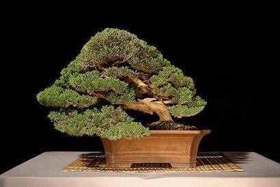 Bonsai Plants Bonsai Bonsai Tree