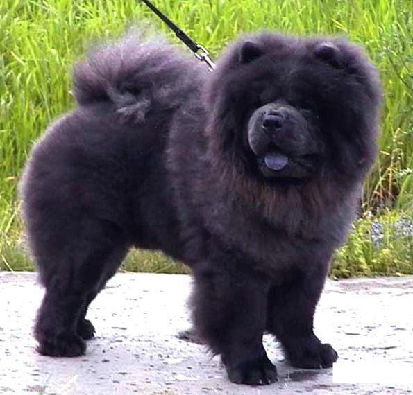 В добрые руки чау-чау, город Сургут | Породы собак, Собаки ...