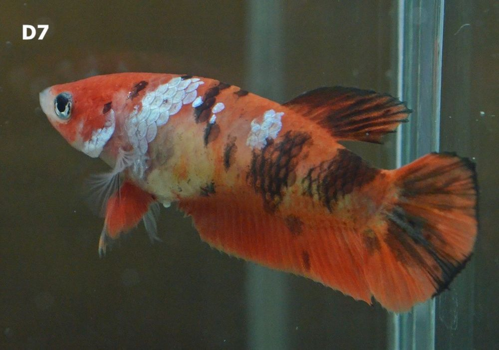 Betta Fish Betta Fish Ideas Bettafish Fishbetta Live Fish Betta Black Orange Fancy Hmpk Female D7 11 00 End Date Thursday D Betta Live Fish Betta Fish