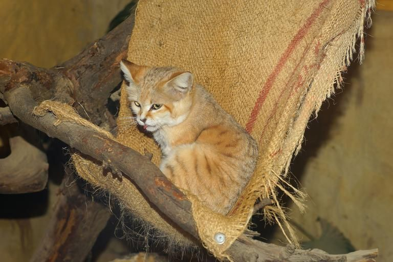 Pin By Iris Phillips On Smaller Wild Cats With Images Small Wild Cats Sand Cat Cats