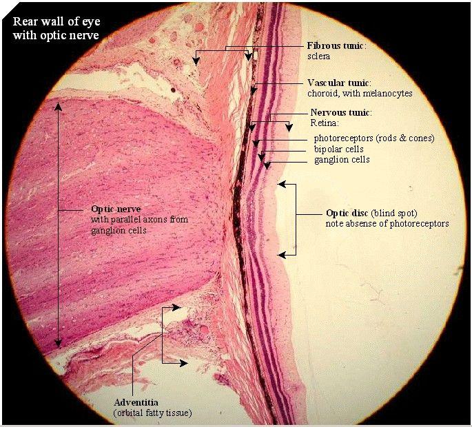Optic Nerve Anatomy Optic Nerve Tbi Pinterest Nerve Anatomy