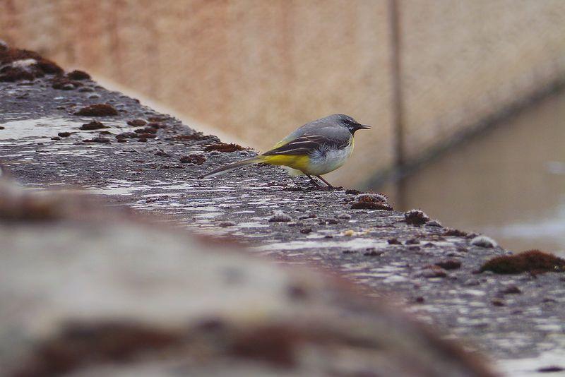 Grey Wagtail. Photos from June. Edinburgh | by Baobhan Jex