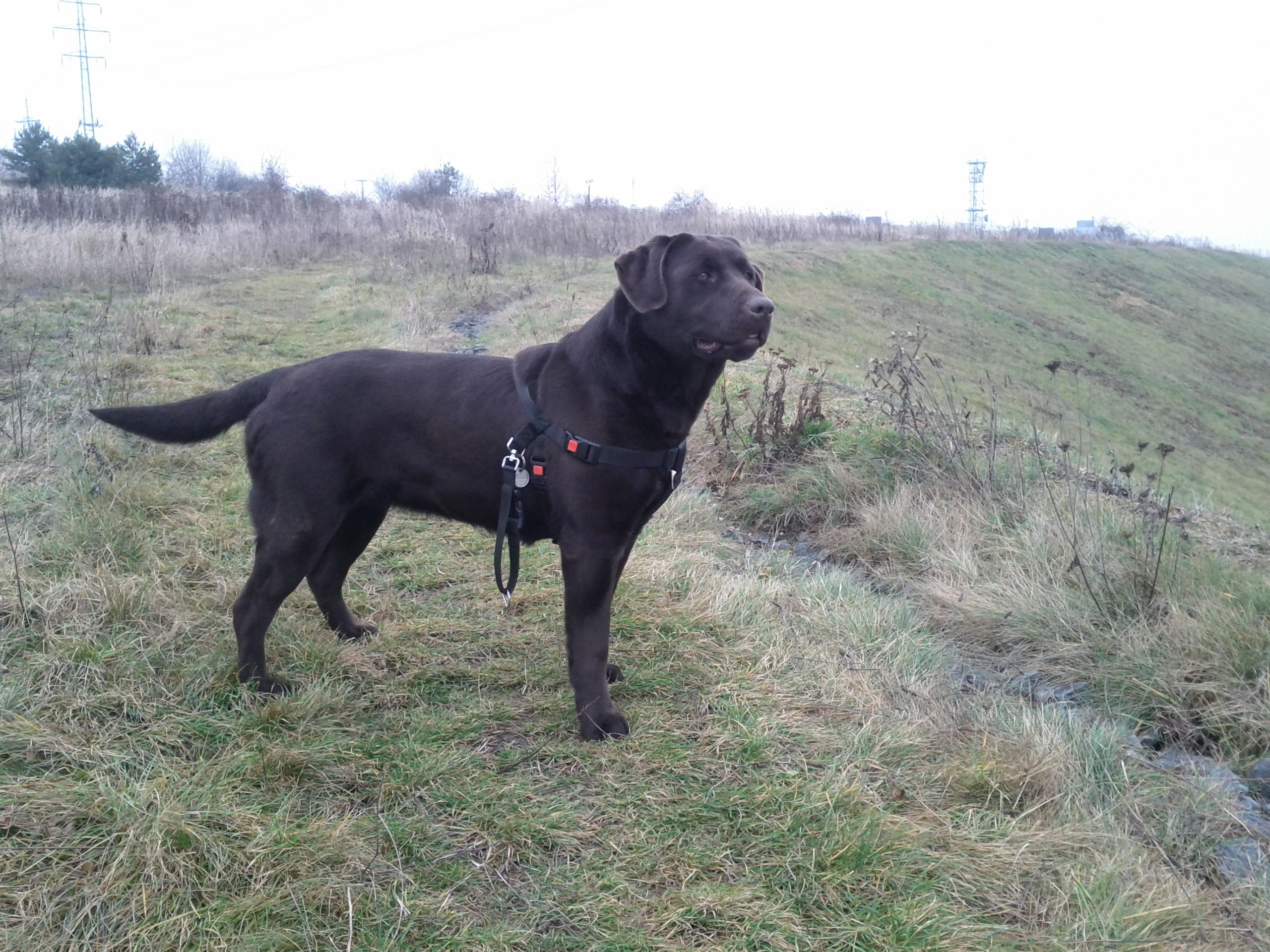 We are looking for some chocolate #labrador from Czech Republic. We want #puppies // #Pilsen