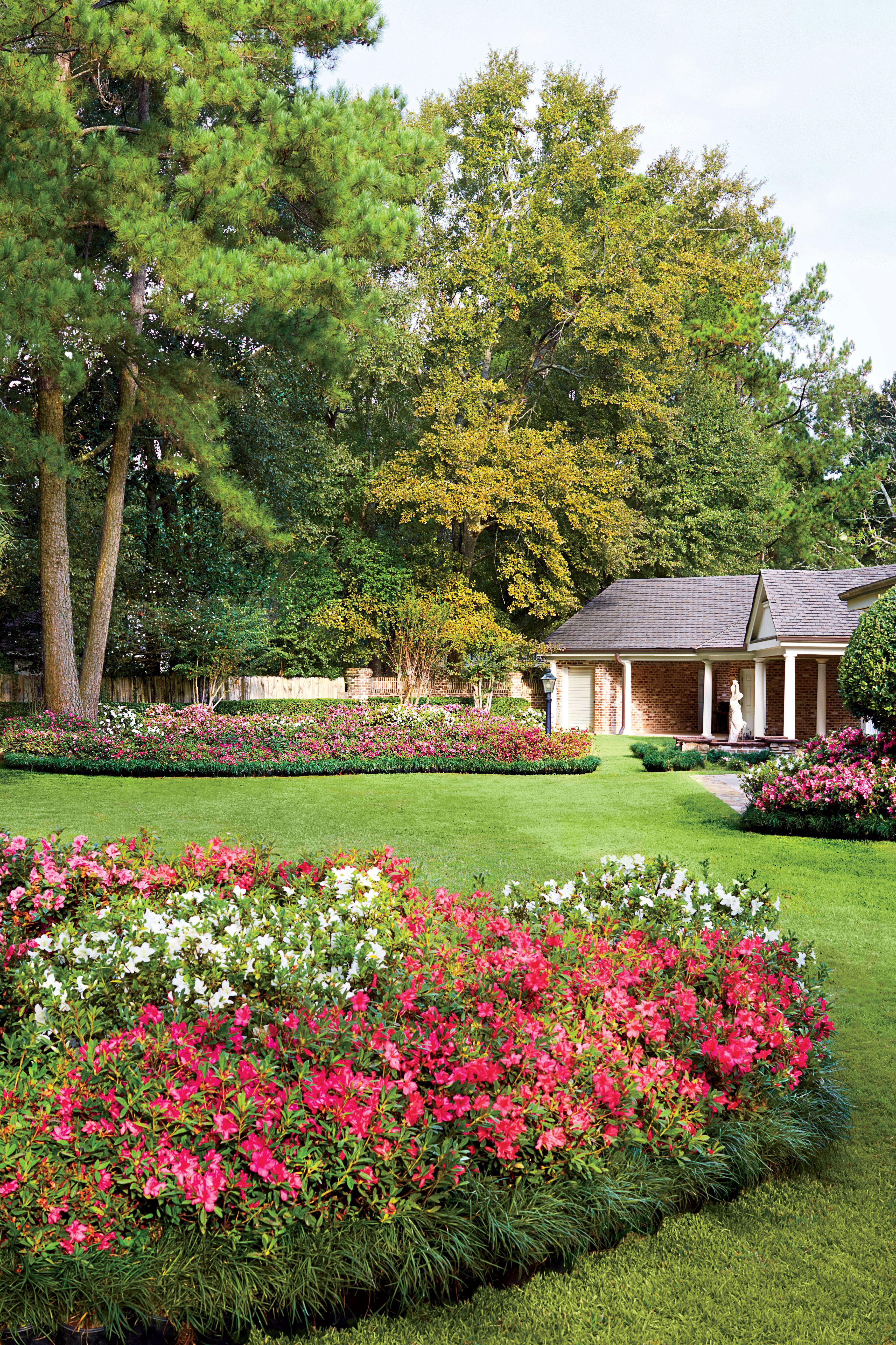 Dont Settle For Scraggly Azaleas Garden Pruning Azaleas Azalea